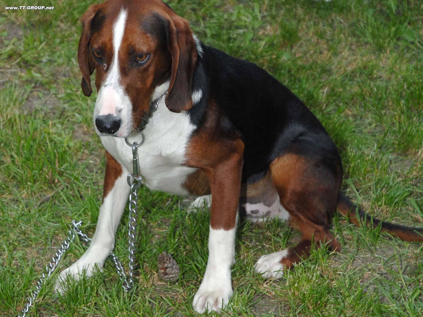 Balkanac, lovački pas