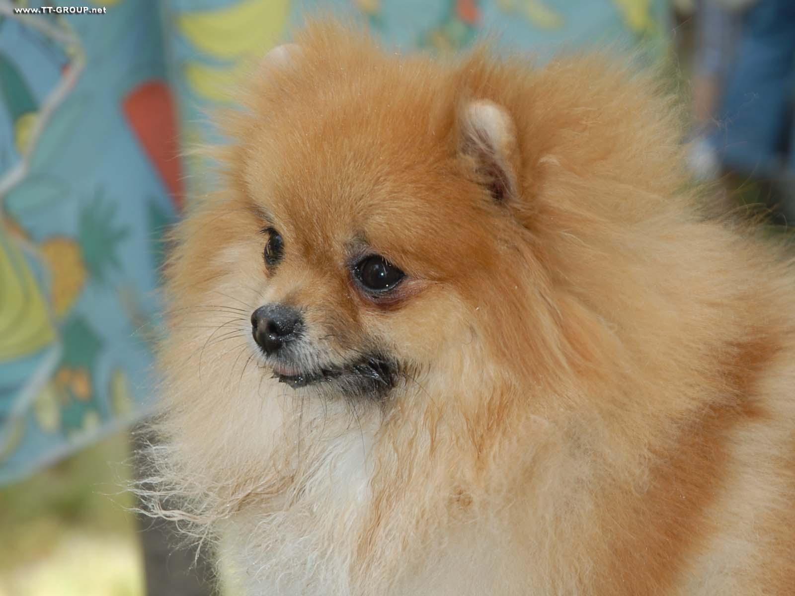 Slika psa Čivava
