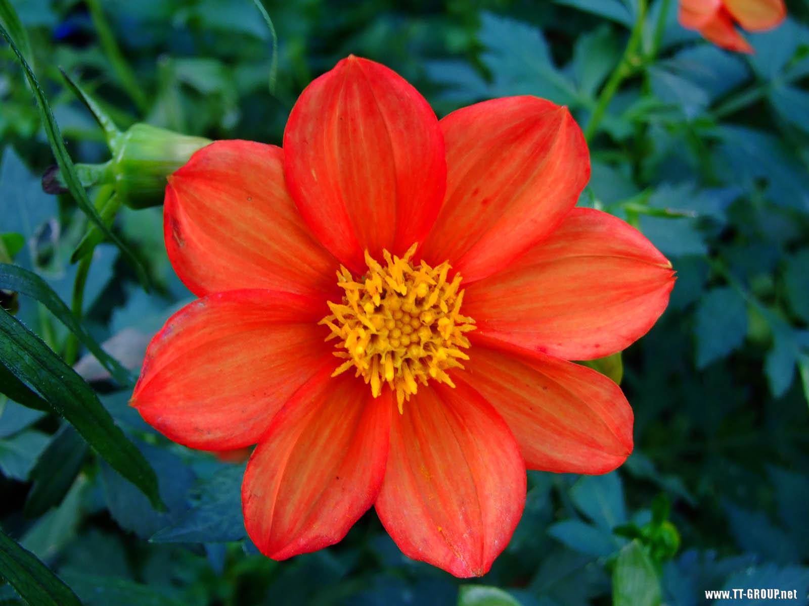 Samo jedan cvet Crveni_cvet