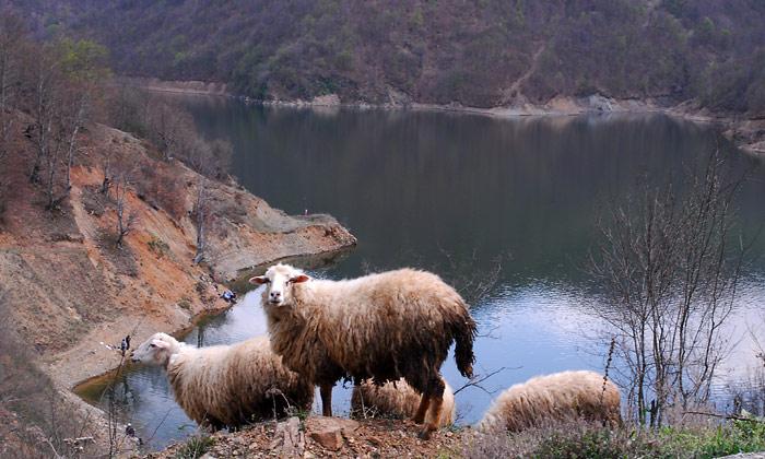 Ovce pored Prvoneka