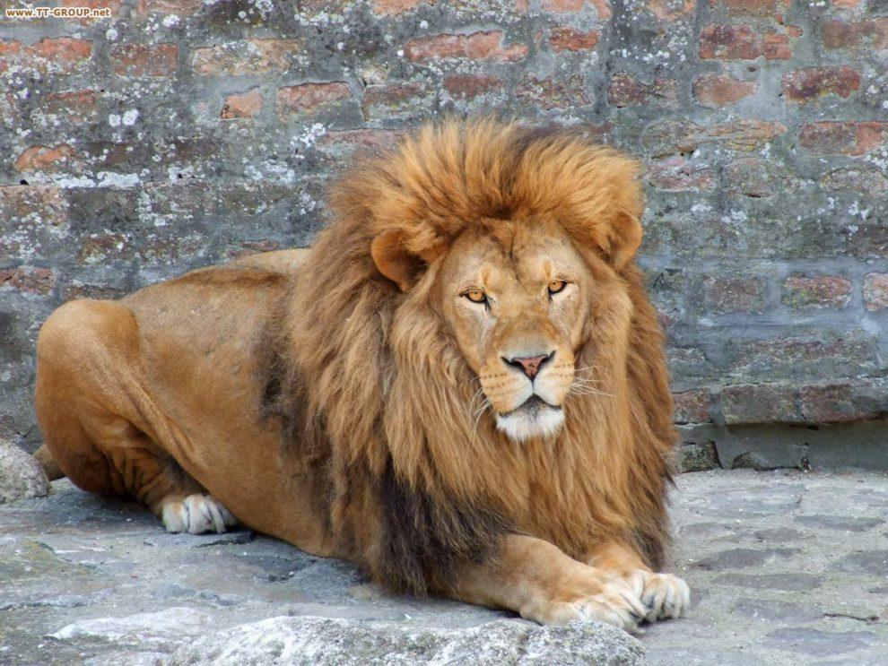 Slika lava, kralja životinja, Beogradski Zoološki vrt