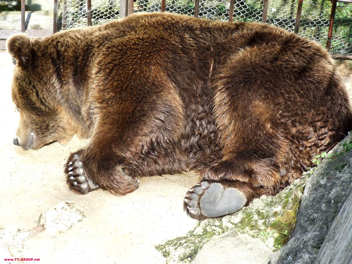 Medved kako spava