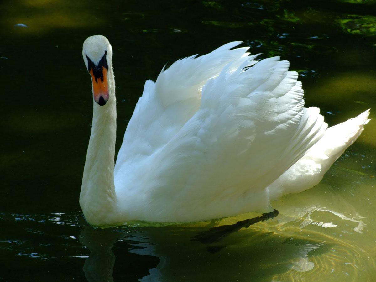 Veliki Beli labud